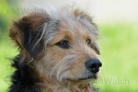 bosnischer-laufhundmischling-0091