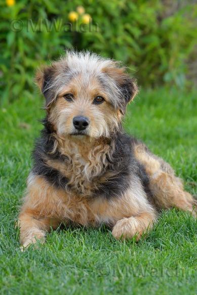 bosnischer-laufhundmischling-0136