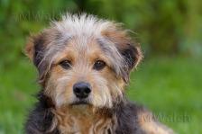 bosnischer-laufhundmischling-0159