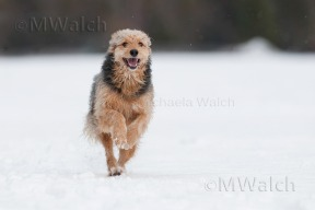 bosnischer-laufhundmischling-2249a