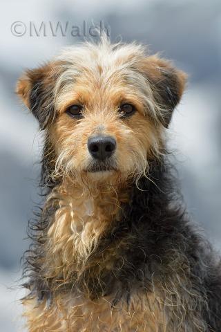 bosnischer-laufhundmischling-2955