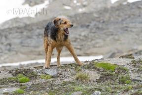 bosnischer-laufhundmischling-3018