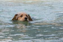 bosnischer-laufhundmischling-4337