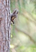 Eichhörnchen-0877