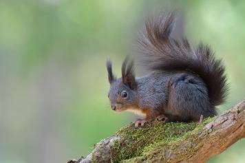 Eichhörnchen-1110