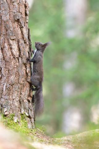 Eichhörnchen-1681