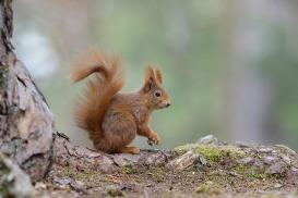 Eichhörnchen-1760