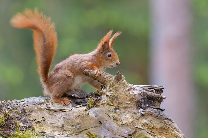 Eichhörnchen-2276