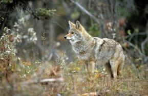 kojote-03