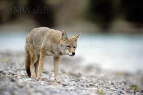 kojote-05