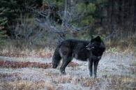 wolf-05