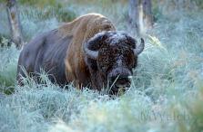 bison-02a