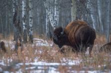 bison017