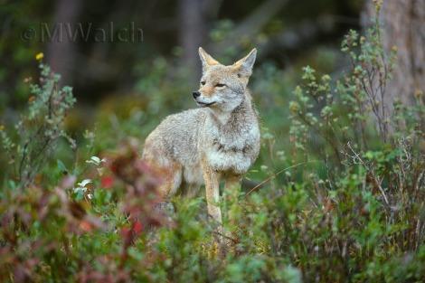 coyote013