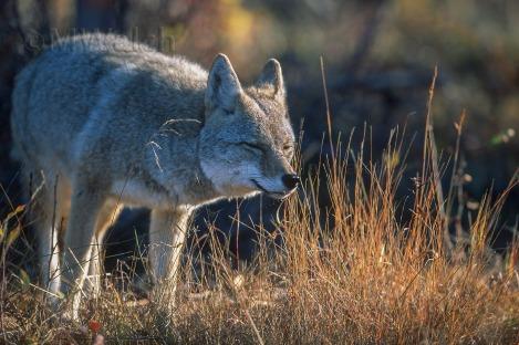 coyote016