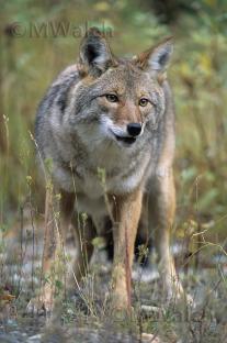 kojote-02