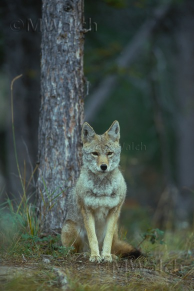 kojote-2a