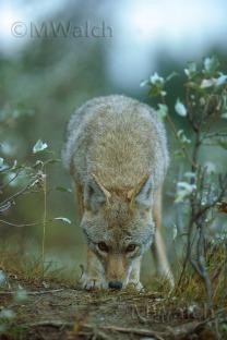 koyote-06