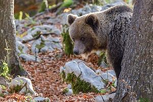 Vorschaubild-Braunbär-8163a