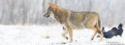 Wolf--3177