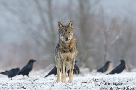 Wolf-3173-1920