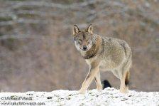 Wolf-3289-1960