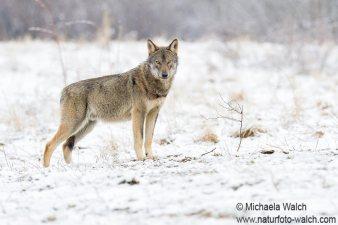 Wolf-3293a