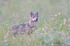 Wolf-6155-1920
