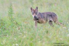 Wolf-6618-1920