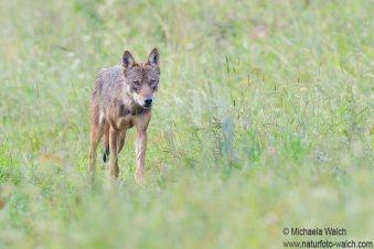 Wolf-6619-1920